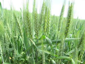 Сорт озимой пшеницы Кармелюк, Полтавская селекция