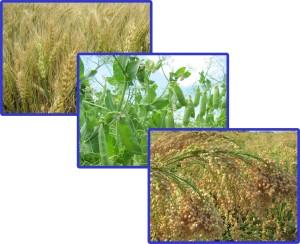 Озима пшениця, горох, просо, купить, купити, придбати, елітне насіння, семена