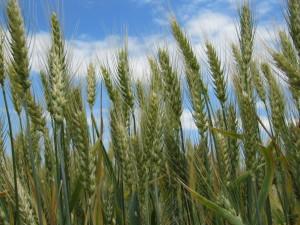 Сорт озимої пшениці Левада. Полтавська селекція